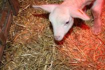 32 Lamm/Lamb