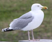 175 Seemöwe/Seagull