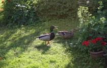 146 Enten im Garten/Ducks in garden