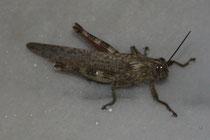22 Heuschrecke/Grasshopper