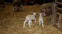46 Schafe+Lämmer/Sheeps+Lambs