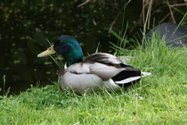 136 Erpel am Gartenteich/Duck at a pond