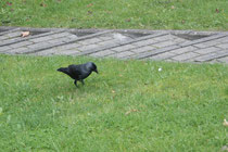 26 Eine Krähe/A crow