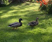 145 Enten im Garten/Ducks in a garden