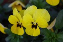 49 Gelbe Stiefmütterchen/Yellow pansy