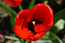 68 Rote Tulpe/Red tulip