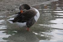 9 Gans/Goose
