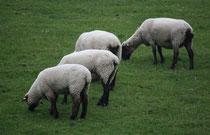 25 Schafe grasen/Sheeps browse