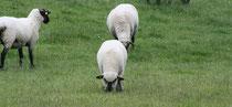 23 Schafe grasen/Sheeps browse