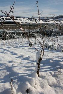 60 Weinstock/Grapevine