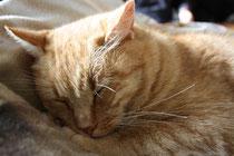 50 Kater beim Schlafen/ Sleeping cat