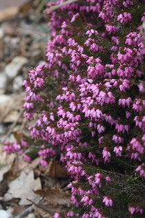 17 Farbenpracht des Heidekrauts/Colors of the heather