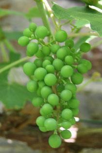 32 Wein/Vine