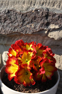 44 Rot/gelbe Primel/Red / yellow primrose