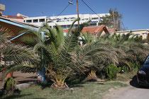 127 Palmen/Palms