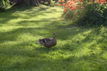 143 Ente watschelt/Duck shambles