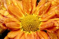 4 Herbstaster/Aster