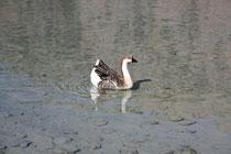 10 Gans/Goose