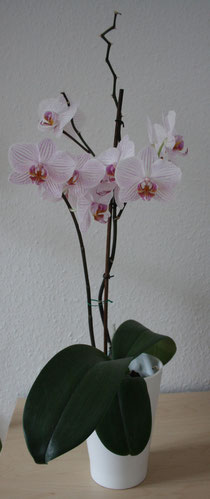 146 Orchidee/Orchid
