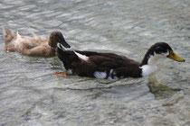 8 Enten in Griechenland/Ducks in Greece