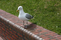 169 Seemöwe/Seagull
