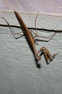 19 Gespensterheuschrecke/Ghosts grasshopper