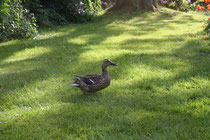 139 Ente watschelt/ Duck shambles