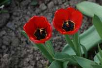 62 Rote Tulpen/Red tulips