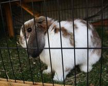 32 Zwergkaninchen/Dwarf rabbit
