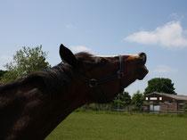 14 Pferdeflehmen/Horse flehmen