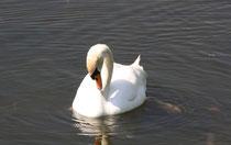 166 Ein Schwan/A swan