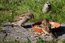 11 Vögel beim Körner picken/Birds peck at the grain