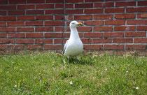 172 Seemöwe/Seagull