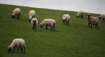 21 Schafe grasen/Sheeps browse