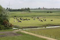 23 Kühe auf einer Wiese/Cows on a meadow
