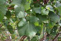 36 Weinblätter/Vine leafs
