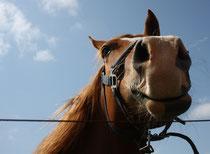 12 Neugieriges Pferd/Snoopy horse