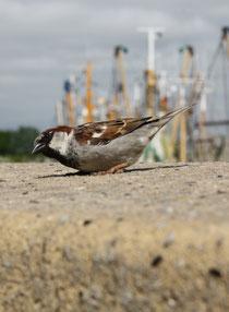 30 Spatz auf Mauer/Sparrow on a wall