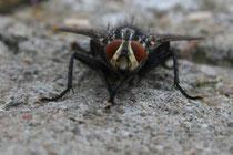 2 Eine Fliege/A fly