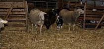 53 Schafe+Lämmer/Sheeps+Lambs