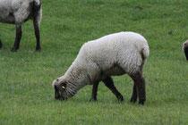 10 Schaf grast/A sheep browses