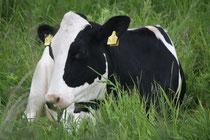 8 Kuh/Cow