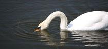 164 Ein Schwan/A swan