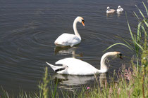167 Schwanfamilie/Family of  swans