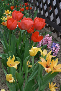 65 Gelbe und rote Tulpen/Yellow and red tulips