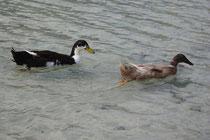 4 Enten in Griechenland/Ducks in Greece