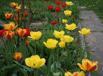 173 Gelbe und rote Tulpen/Yellow and red tulips