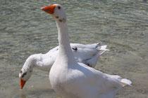 6 Gänse in Griechenland/Geese in Greece