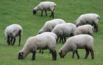 4 Schafe grasen/Sheeps browse