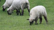 7 Schaf grast/A sheep browses